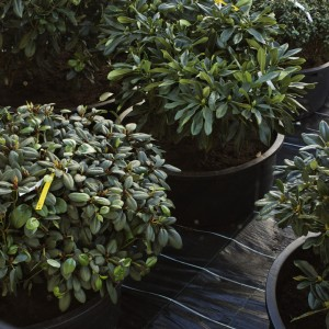 Installation view: Danh Vo, »Rhododendron Discolor, R. Fargesii, R. Sutchuenense, R.Souliei, R.Ramosissium, R. Cillicalys, R.Fasstigiatum«, 2009.